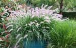 Пеннисетум лисохвостный посадка и уход, pennisetum alopecuroides