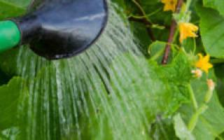 Как поливать огурцы в теплице из поликарбоната?
