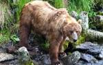 Перед вечерним кормлением цирковой бурый медведь салтан: чем питается мишка?