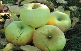 Яблоня ренет черненко описание сорта фото отзывы