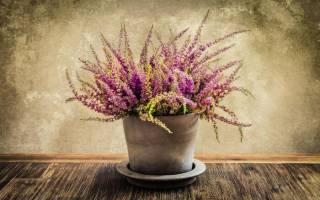 Цветок вереск уход в домашних условиях, вересковые комнатные растения