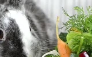 Кровянистые выделения у кролика — красная моча у крольчихи