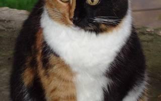 Черепаховый окрас только у кошек – черепаший цвет кошки