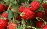 Клубника фестивальная описание сорта фото отзывы садоводов