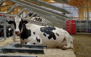У коровы понос с кровью, что делать?
