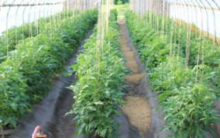 Как лучше подвязать помидоры в теплице?