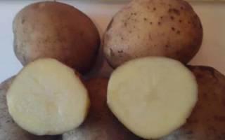 Сорт картофеля зорачка характеристика отзывы