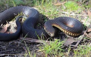 Медянка ядовитая или нет, змея водянка