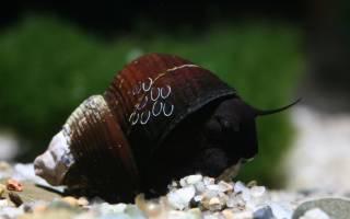 Строение раковины брюхоногих моллюсков: из чего состоят ракушки?