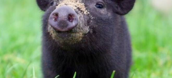 Сколько растет поросенок до забоя, когда режут свинью?