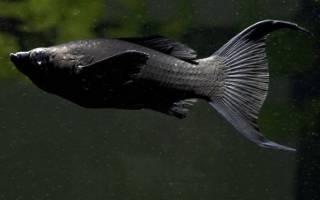 Моллинезия золотая лирохвостая, рыбка лира