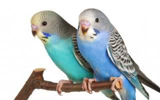 Продолжительность жизни волнистых попугайчиков в домашних условиях