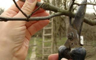 Как обрезать стелющуюся яблоню?