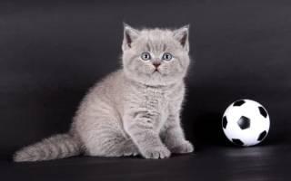 Клички для котов шотландцев вислоухих