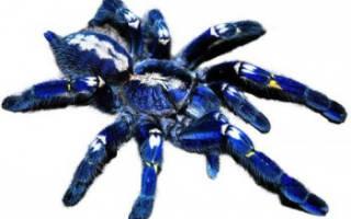 Самые опасные пауки в мире фото – самый ядовитый тарантул