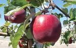 Яблоня моди описание фото отзывы