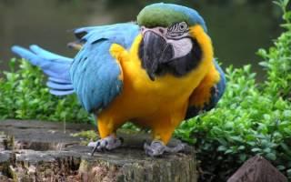 Попугай ара сколько живет в домашних условиях, корелла продолжительность жизни