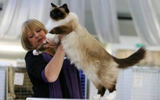 Как участвовать в выставках кошек?