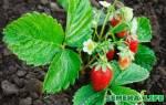 Как собрать семена клубники?
