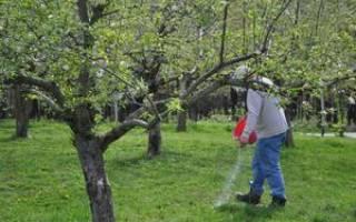 Подкормка яблонь и груш весной