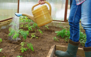 Как часто поливать помидоры в теплице?