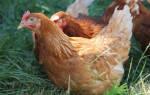 Как отличить старых кур от молодых – как определить возраст цыплят?