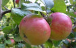 Яблоня приземленное описание сорта фото отзывы