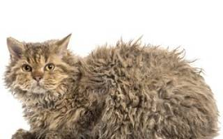 Самые маленькие породы кошек в мире, ламбкин кошка