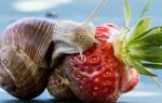 Что едят улитки аквариумные?