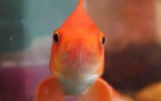 Как можно назвать рыбку петушка мальчика: имена аквариумных рыбок