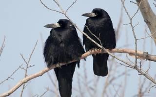 Птица грач описание для детей — интересные факты о грачах