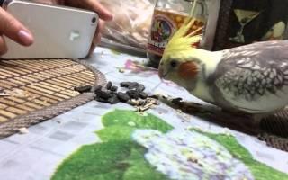 Можно ли попугаям жареные семечки?