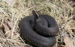 Какого числа змеи уходят в спячку – где зимуют ужи и гадюки?