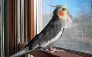 Как определить возраст кореллы попугая в картинках