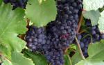 Нужно ли мыть виноград перед изготовлением вина?