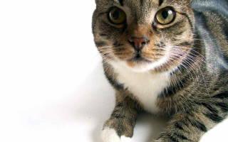 Пиелонефрит у кошек симптомы и лечение