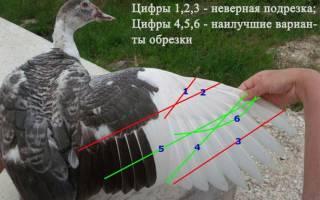 Как обрезать крылья у индоуток?