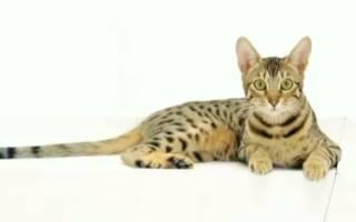Редкие кошки мира фото и названия: китайские коты