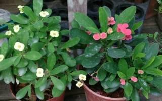 Как размножить молочай миля в домашних условиях, терновый венец цветок
