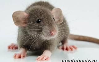 Сколько живут крысы дамбо в домашних условиях?