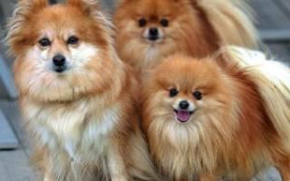 Как ухаживать за собакой породы шпиц?