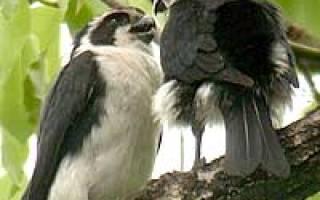 Небольшая хищная птица: черноногий сокол крошка