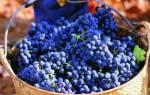 Сорт винограда сира описание