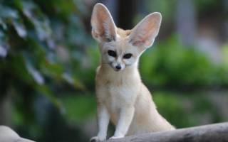 Лисичка фенек в домашних условиях – маленькая лиса