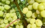 Сорт винограда августин фото и описание