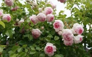 Роза жасмина фото и описание
