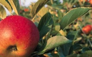 Как бороться с цветоедом на яблонях, яблоневый долгоносик