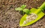 Сроки посадки огурцов в открытый грунт