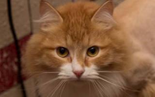 Как происходит стрижка кошек, почему нельзя стричь котов?