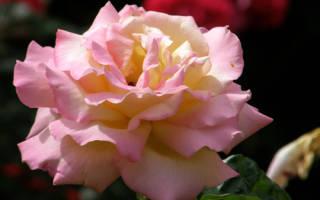 Роза глория дей фото и описание, gloria dei